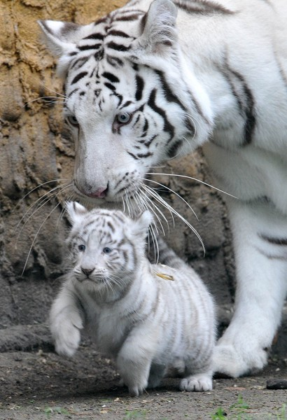 A white tiger cub is carried by its moth
